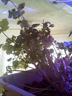 dying cilantro
