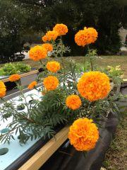 Flowers in aquaponics