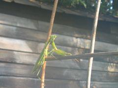 My Friends the predator bugs