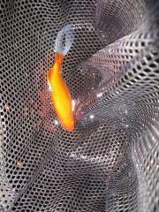 Goldfish power this system