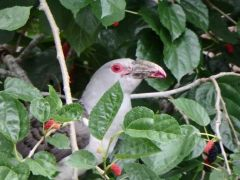Channel Billed Cuckoo cleaning up my mulberries