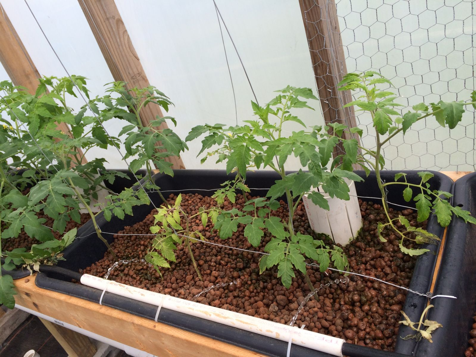 Another Tomato Bed