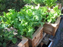 Lettuce 824 2