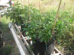 3 25 Gl SIP Gro Tubs,  36 Veg. plants