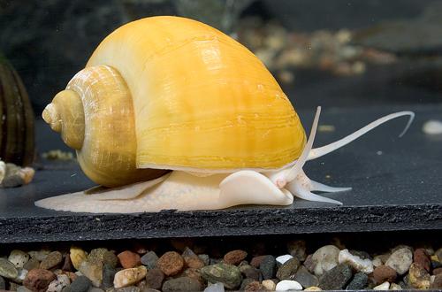 gold-mystery-snail__75355.1330674288.1280.1280.jpg