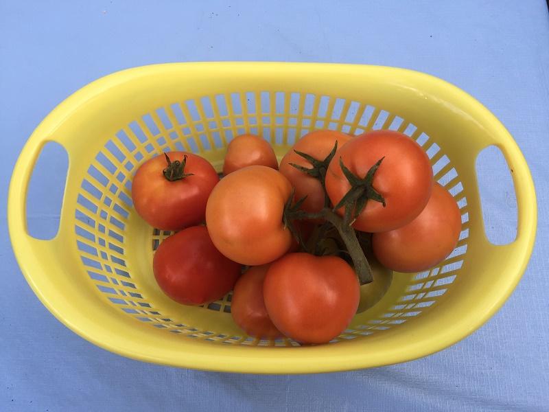 Aquaponics tomatoes.jpg