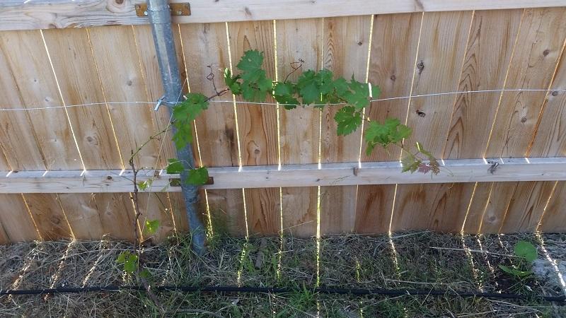 grape2.jpg