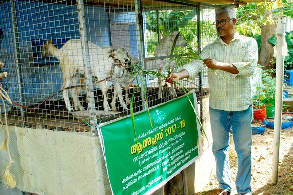 Backyard goat farming.jpg
