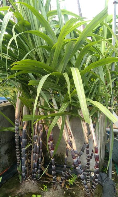 Sugarcane in aquaponics 010618.jpg