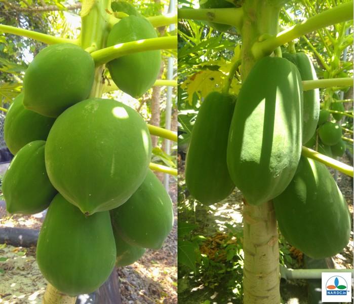 Papaya in Aquaponics Sand Culture 040918.jpg