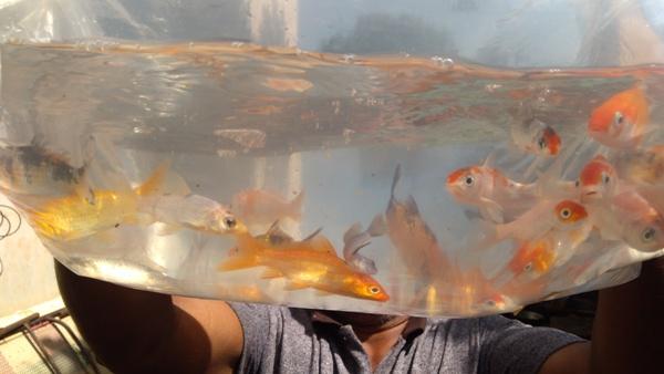 Koi carp in ISKCON Aquaponics.jpg