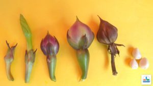 Clove-Beans-in-Aquaponics-01102018-300x169.jpg