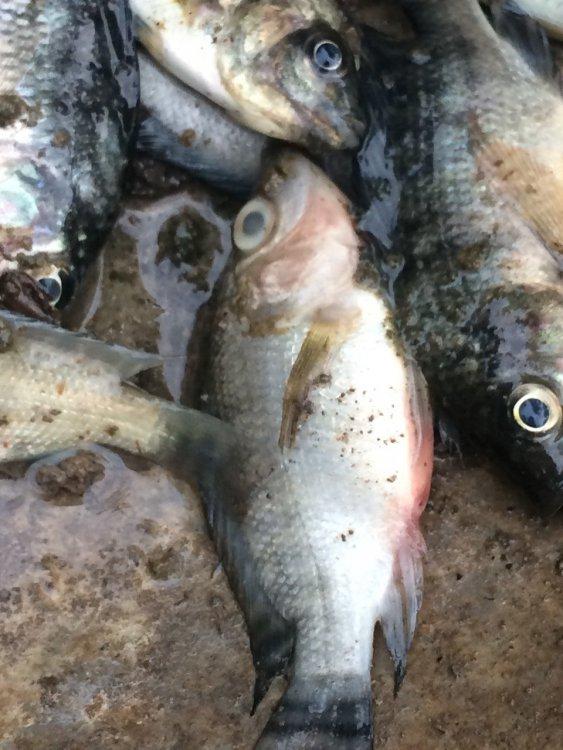 fish die 190815.jpg